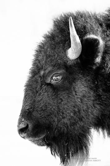 Bison Formal Portrait